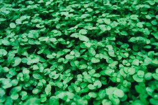 clover-field-kelly-sikkema-256091