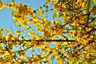 forsythia-home-spring
