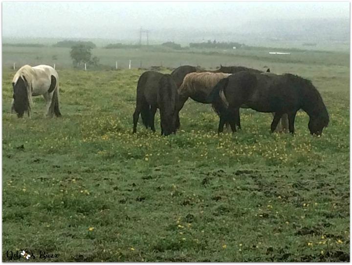 iceland-trip-day1-horsefarm