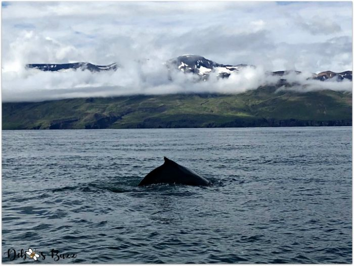 Iceland Journey North to Whale-Filled Bays, Part 3