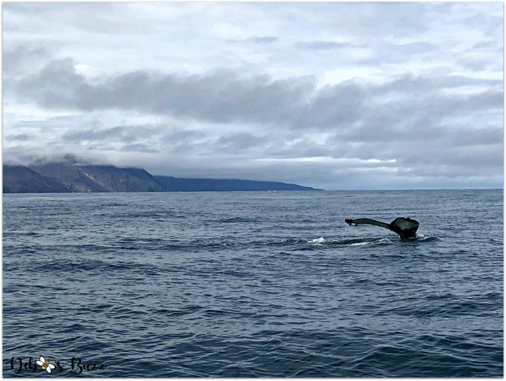 iceland-journey-day6-husavik-whale-watching-tail