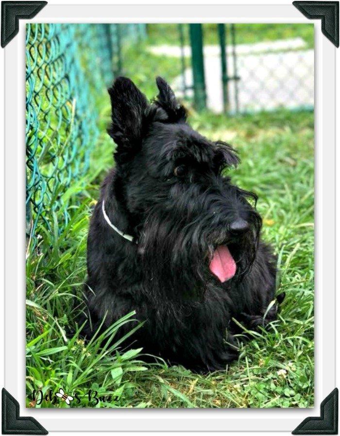 Scottie-dog-fuzzy-funny-Valentine-fence-frame