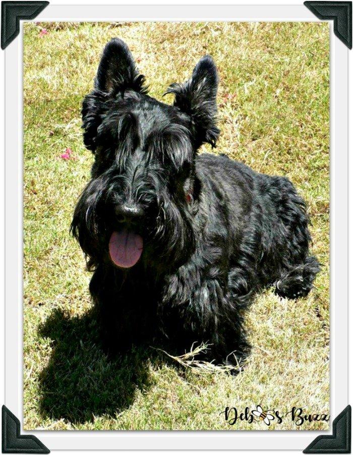 Scottie-dog-fuzzy-funny-Valentine-shaggy-frame