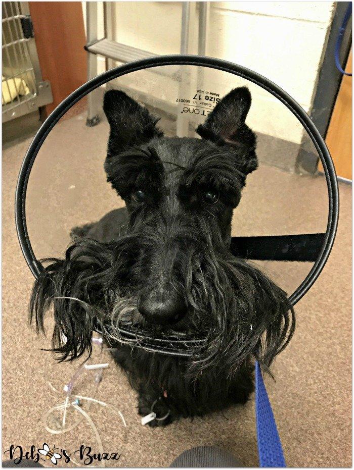 Scottie-dog-funny-valentine-preop-Fibber-cone