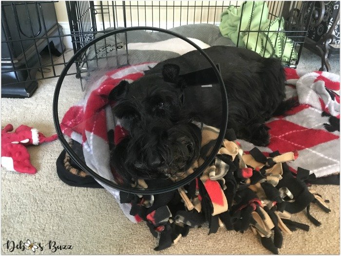 fuzzy-funny-valentine-scottie-dog-post-op