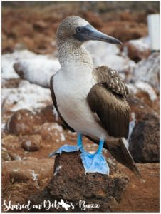 Blue-footed-boobie-shared