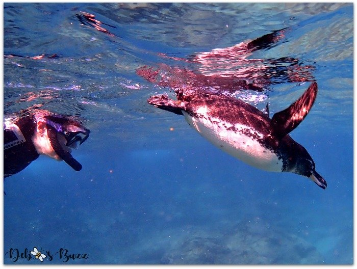 Galapagos-Islands-cruise-snorkeling-penguin