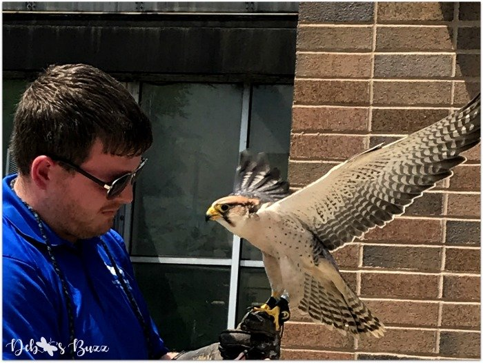 Pittsburgh-National-Aviary-falcon-flight