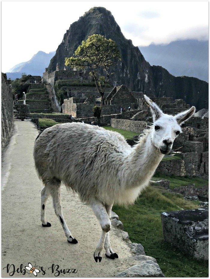 peru-machu-picchu-day1-llama-Huayna-Picchu-mountain