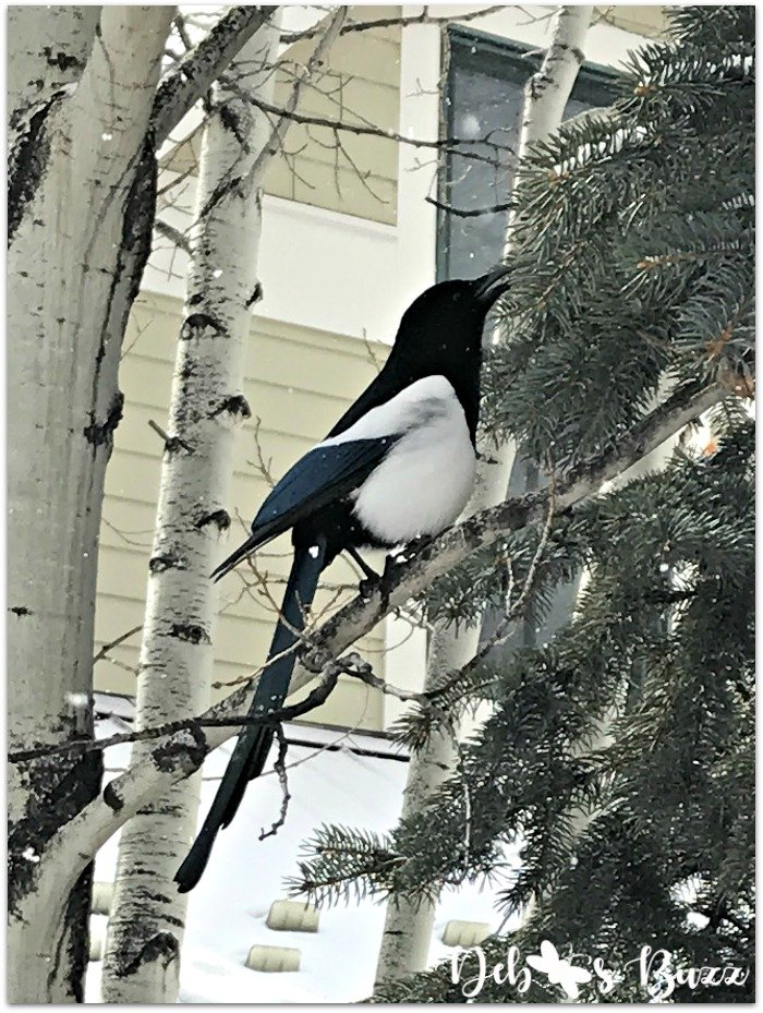 travel-Telluride-black-billed-magpie