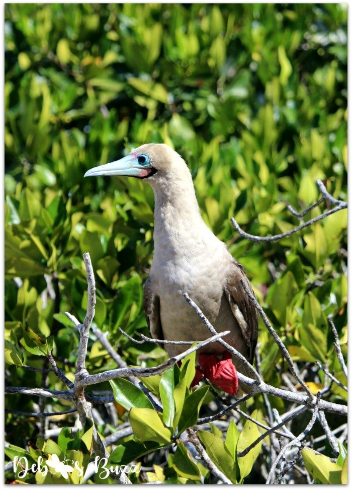 Galapagos-Islands-Darwin-Bay-red-footed-bobbie