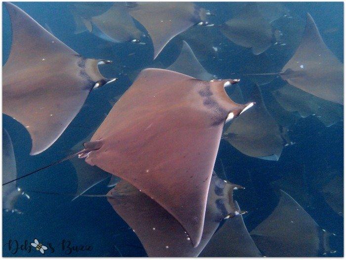 Galapagos-Darwin-Bay-snorkel-stingrays