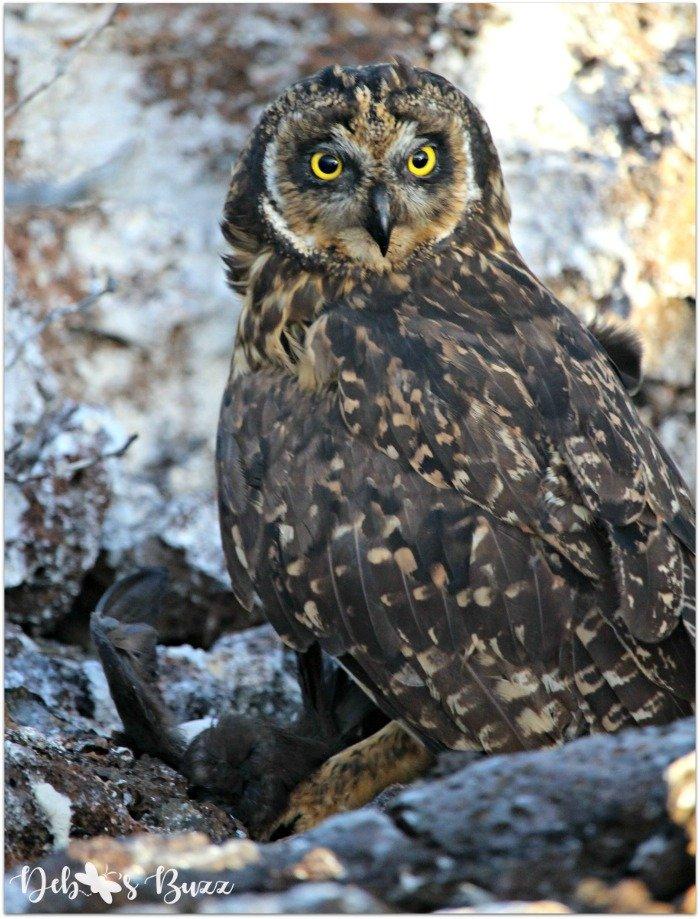 Galapagos-short-eared-owl