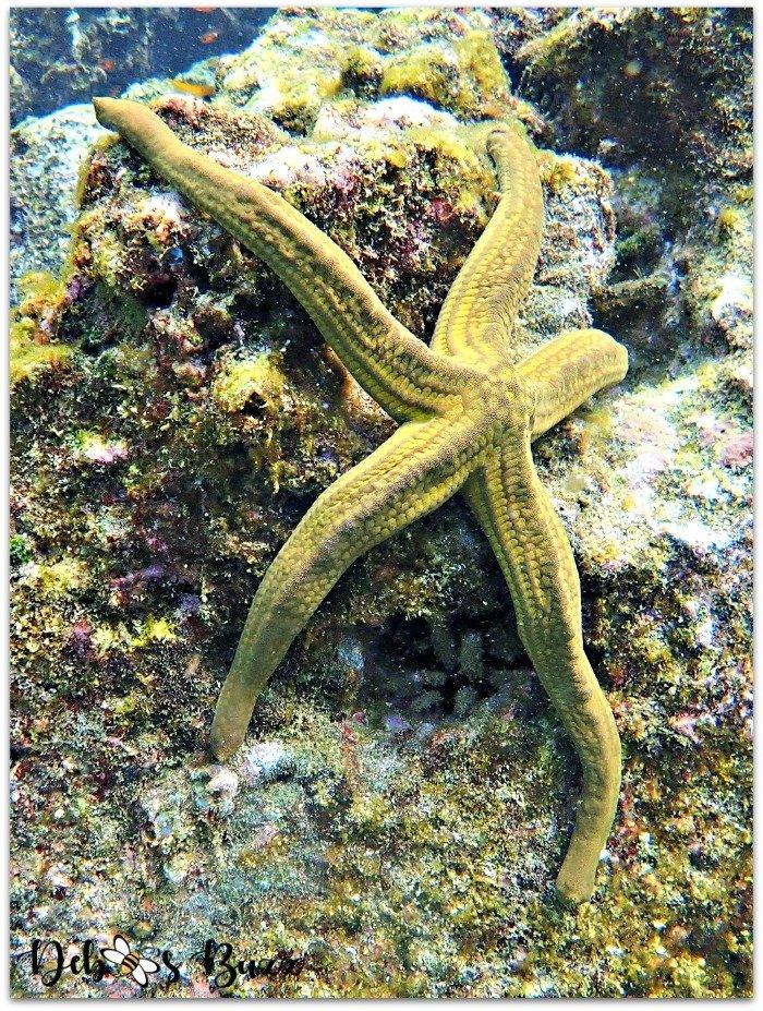 Galapagos-Buccaneer-Cove-snorkel-starfish