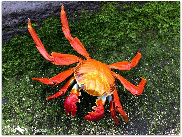 Galapagos-Egas-Port-sally-lightfoot-crab