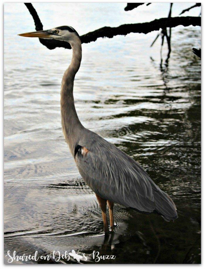 Galapagos-Egas-Port-wading-heron