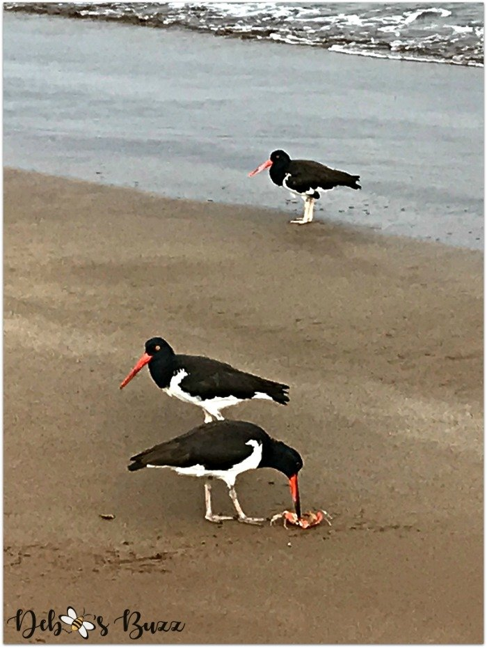 Galapagos-vacation-Espumilla-beach-oystercatcher-bird