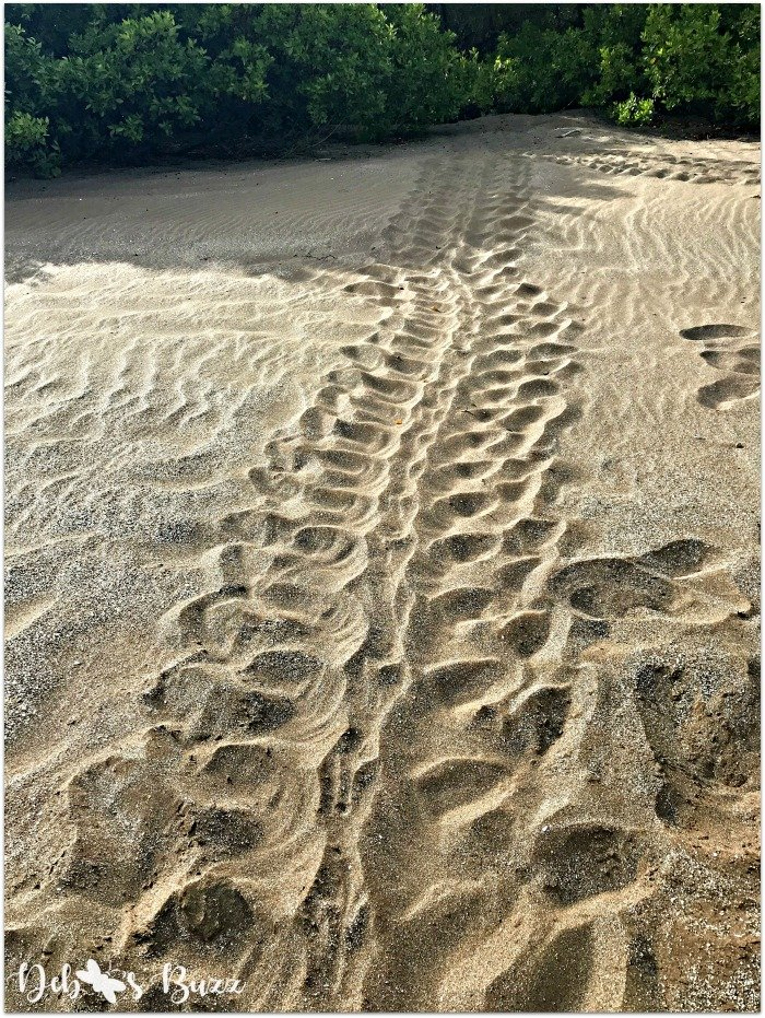 Galapagos-vacation-Espumilla-beach-sea-turtle-tracks