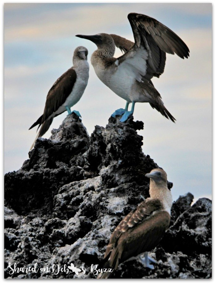 Galapagos-blue-footed-bobbies-mating-dance