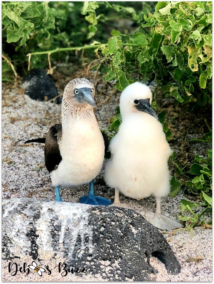 Galapagos-vacation-north-seymour-island-blue-footed-boobie-chick