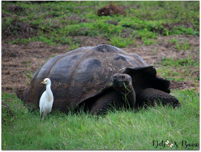 giant-Galapagos-tortoise