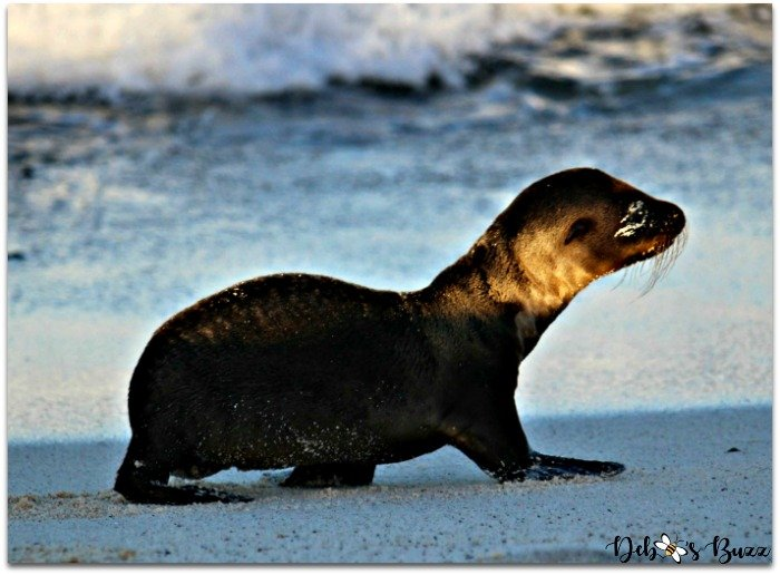 Galapagos-trip-newborn-sea-lion-pup-surf