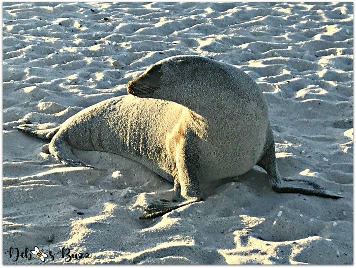 Galapagos-trip-sand-covered-sea-lion