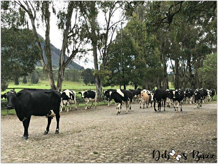 Ecuador-Hacienda-vacation-Zuleta-cow-leader-herd