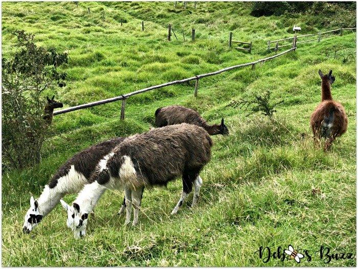 Ecuador-Hacienda-vacation-Zuleta-grazing-alpacas