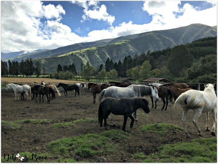travel-Ecuador-Hacienda-vacation-Zuleta-horses-pasture-Andes