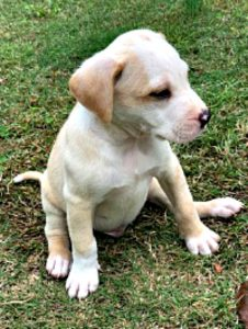 rescue-puppy-lab-mix