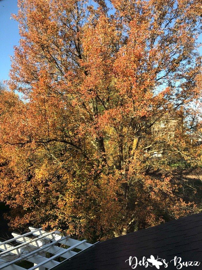 Bradford-Pear-tree-fall-orange-leaves