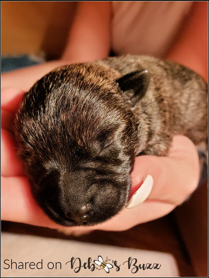 newborn-Scottie-brindle-puppy-Wise