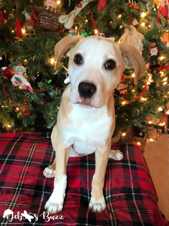 Christmas-lab-mix-puppy-four-months