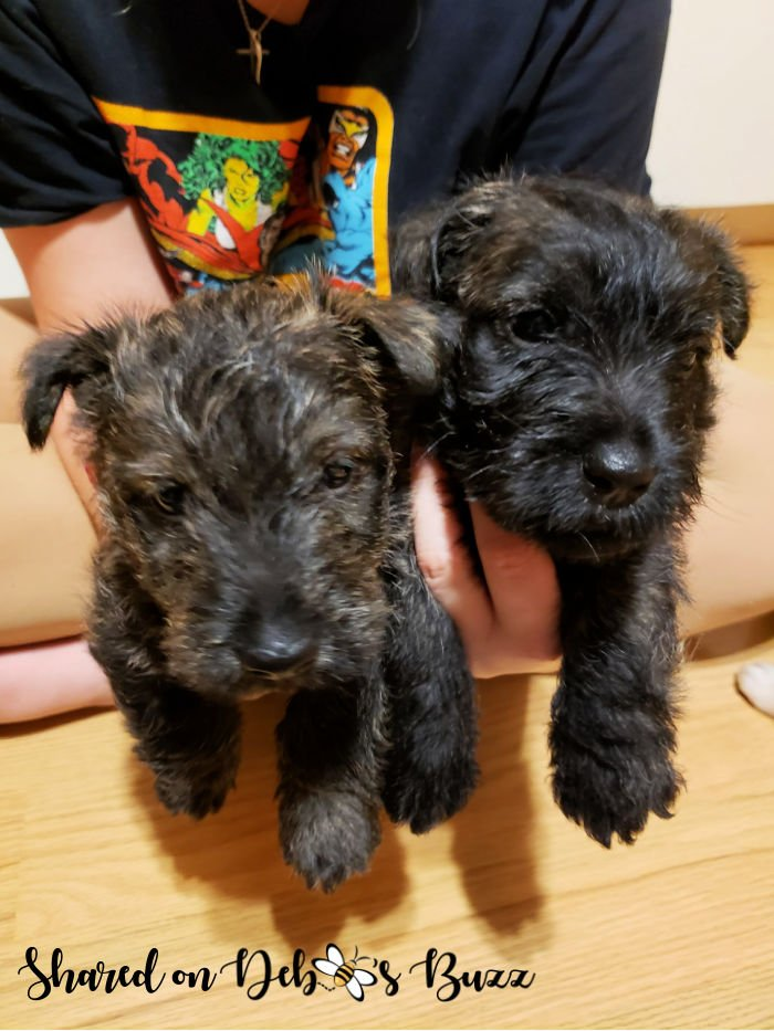 Wise-brindle-Scottie-puppies-6-weeks