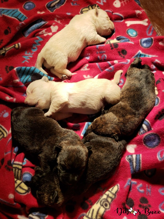 1-week-old-litter-puppies-Wises-Scottish-Terriers