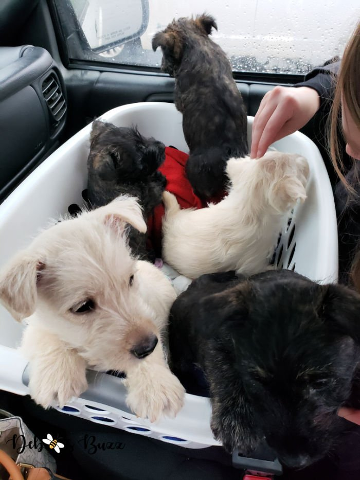 7-week-old-puppies-laundry-basket-Wises-Scottish-Terriers