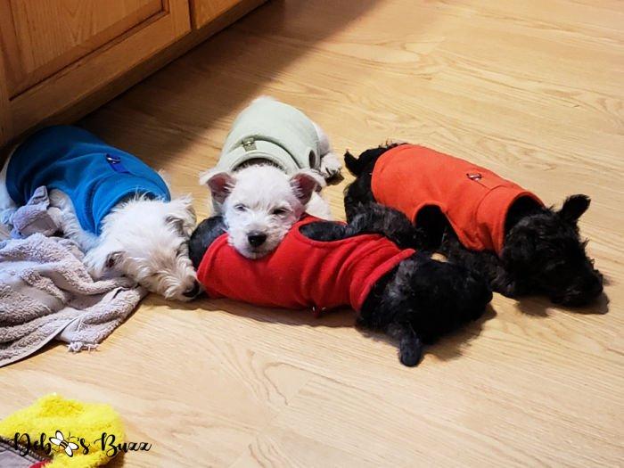 Wises-Scottish-Terriers-8-week-puppies-sweaters-sleeping