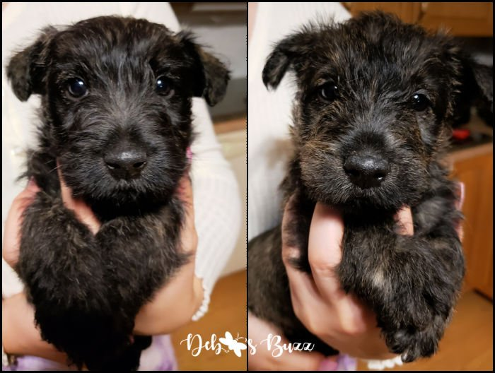 Wises-Scottish-Terriers-brindle-male-puppy-pair