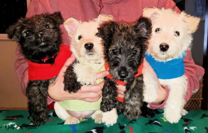 Wises-Scottish-terrier-puppies-8-weeks-old
