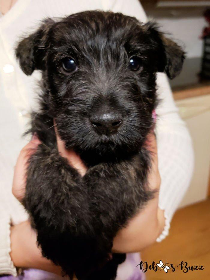 Wises-Scottish-terriers-6-week-brindle-puppy