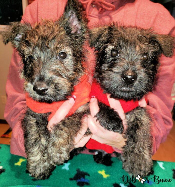 Wises-Scottish-terriers-brindle-coat-8-week-puppies