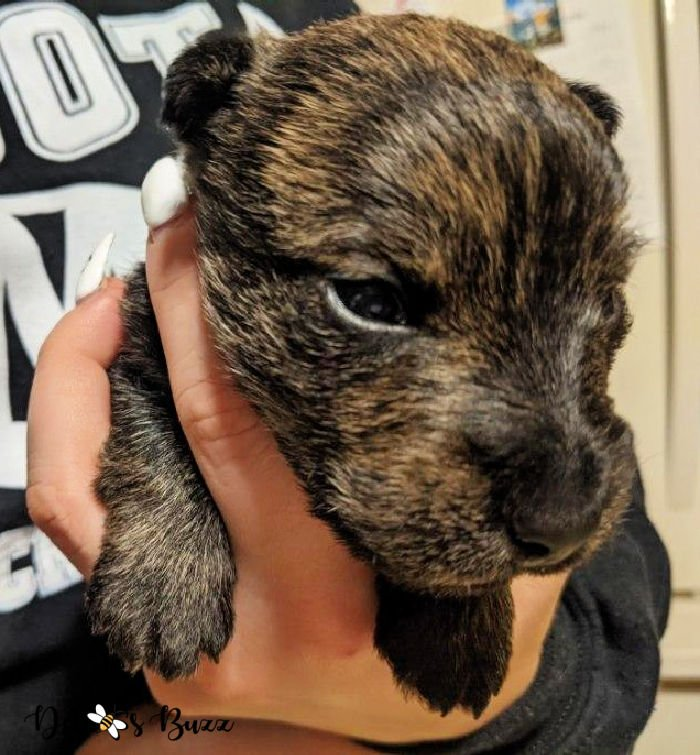 Wises-Scottish-terriers-brindle-face-2-weeks-old-puppy