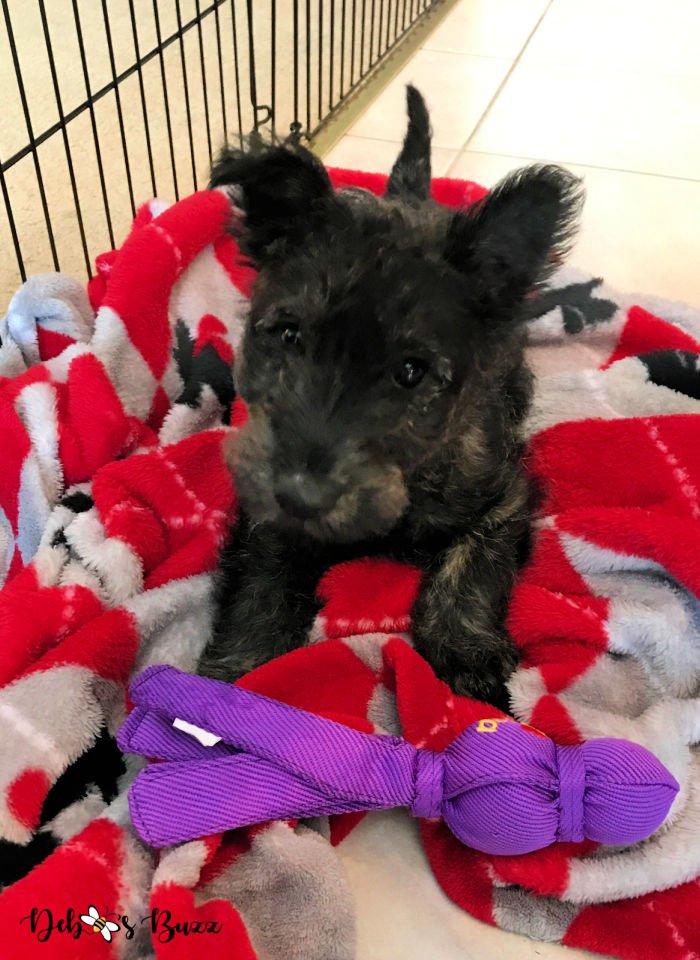 3-month-brindle-coat-Scottie-puppy