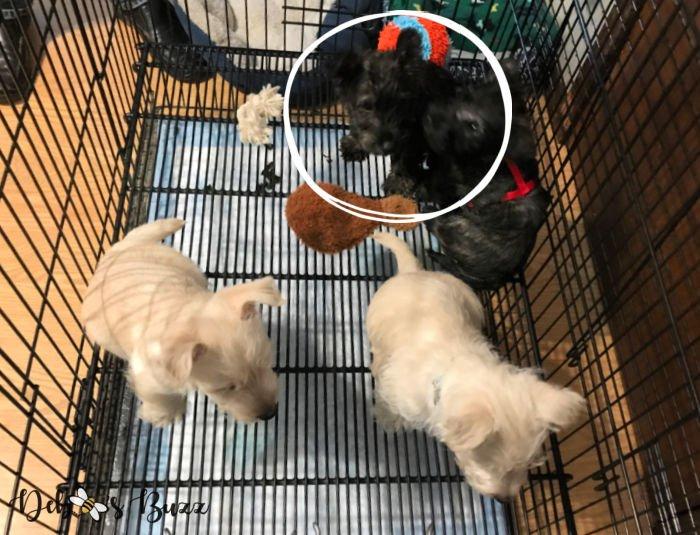 2-month-Scottie-puppy-litter
