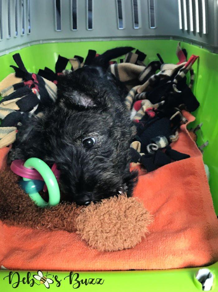 2-month-Scottie-puppy-traveling-home