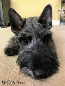 5-month-brindle-Scottie-puppy-closeup