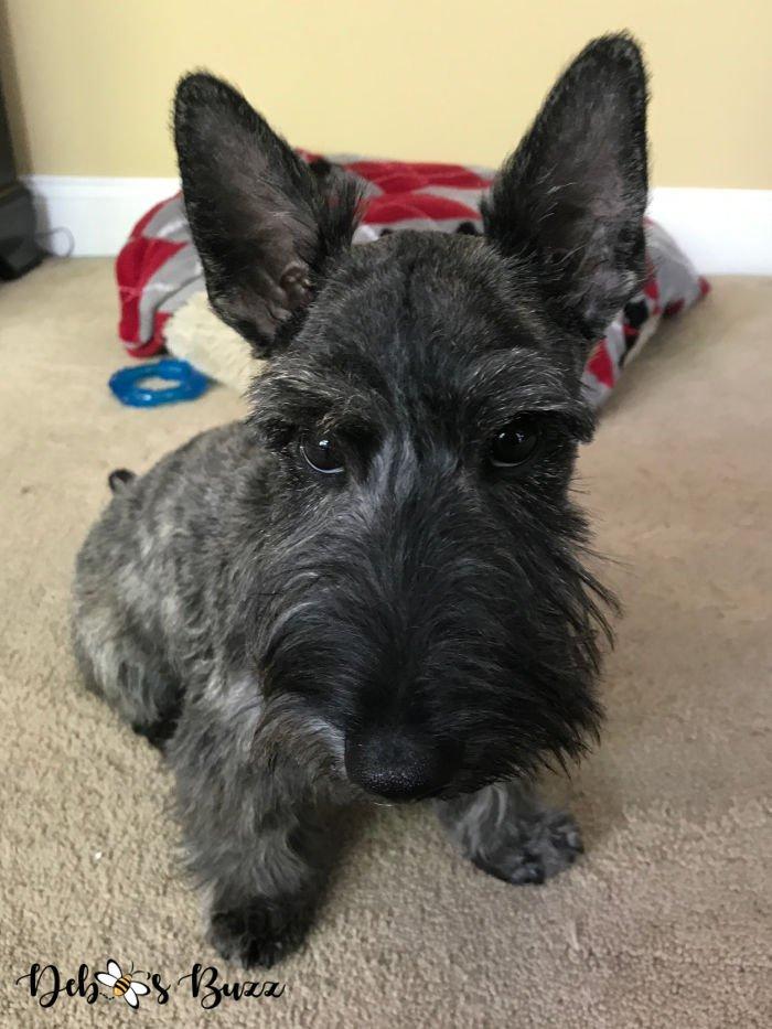 5-month-brindle-Scottie-puppy-haircut