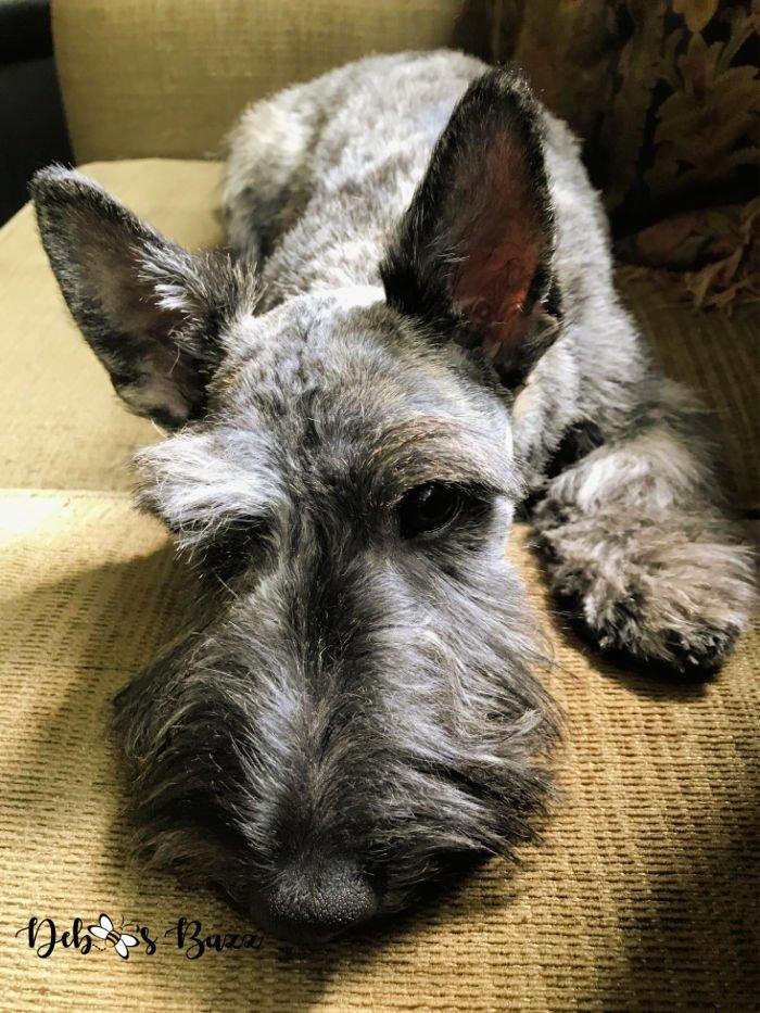 5-month-brindle-Scottie-puppy-laying-down
