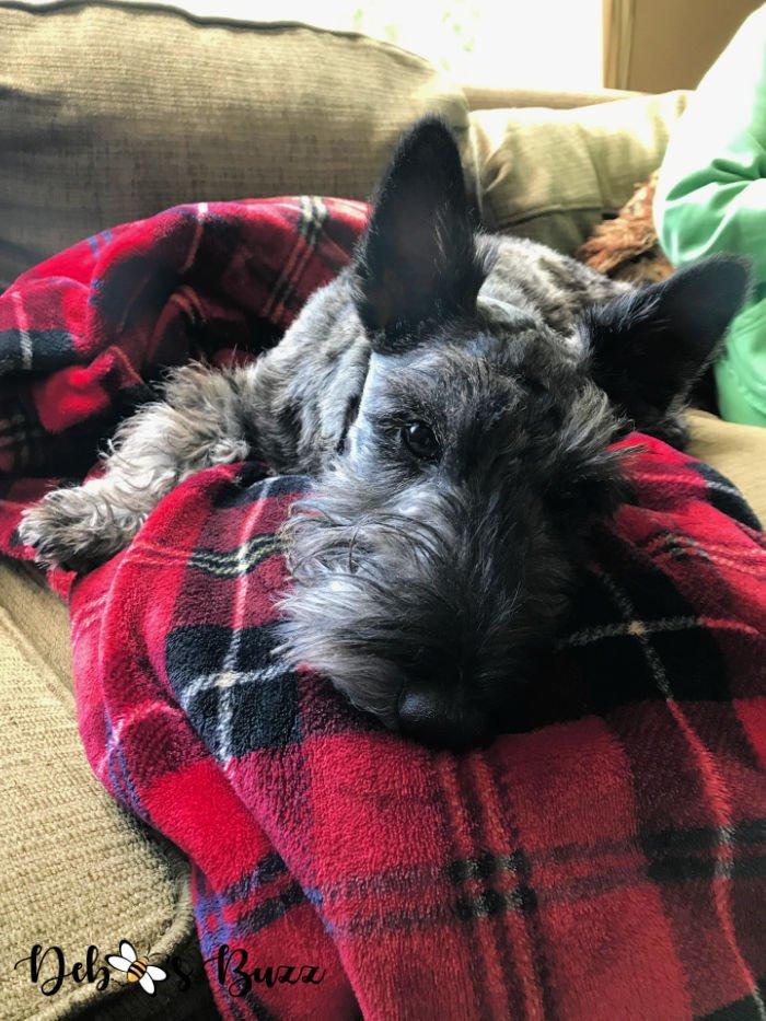 6-month-Scottie-puppy-plaid-blanket